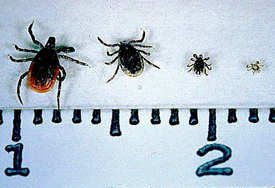 Deer Tick, adult female, adult male, nymph and larva (from left to right)